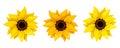 Set of three sunflowers. Vector illustration.