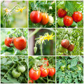 Set of tomatoes growing flowers green red Royalty Free Stock Photos
