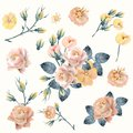 Set of vector realistic yellow, pink roses in vintage style for design Royalty Free Stock Photo