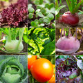Set of vegetable garden radish salad cabbage tomato kohlrabi Stock Images