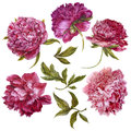 Set of watercolor dark pink peonies, separate