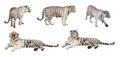 Set of white tiger. Isolated  over white Royalty Free Stock Photo