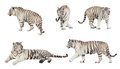 Set of white tiger.   over white Royalty Free Stock Photo