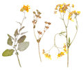 Set of wild dry pressed flowers and leaves isolated Royalty Free Stock Image