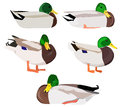 Set of wild ducks in various poses vector illustration Royalty Free Stock Images