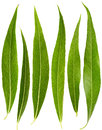 Set of willow leaves Royalty Free Stock Photo