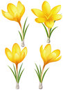 Set of yellow crocuses Stock Images