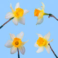 Set of yellow jonquil flower isolated on blue background Royalty Free Stock Photo