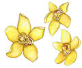 Set of yellow watercolor orchids with a stroke isolated on
