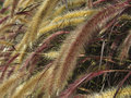 Setaria Italica Red Jewel - Red Bristle Grass Stock Photos