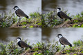 Sets spur-winged lapwing Royalty Free Stock Photos