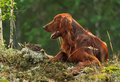 Setter near to trophies gun dog horizontal outdoors Royalty Free Stock Images