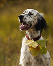 Setter's portrait Royalty Free Stock Photo