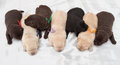 Seven labrador retriever puppies one week old Stock Images