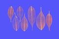 Seven skeletonized reddish leaves ficus ficus benjamina on a sky blue background Stock Photography