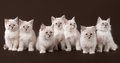 Seven small siberian kittens on dark brown Stock Photos