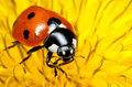 Closeup of Seven-spot Ladybird or Ladybug Royalty Free Stock Photo