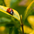 Seven Spot Ladybird Stock Photo