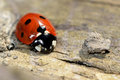Seven spot ladybird coccinella septempunctata a common seen from front and above on wood with striking orange black and white Royalty Free Stock Photography