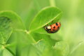 Seven spot ladybird on the leaf Stock Photos