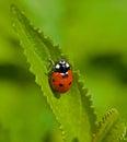 Seven spot ladybird macro image of or ladybug Royalty Free Stock Photography