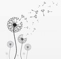 Seven vector dandelions wind is blowing on them black and white illustration Stock Photography
