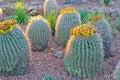 Several barrel cacti Royalty Free Stock Photo