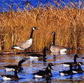 Several canadian geese pond marsh Stock Photography