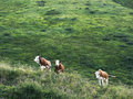 Several cows grazing on mountain pasture. Alpine traditional farming. Royalty Free Stock Photo