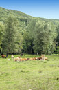 Several cows pitches in a farm of spain in a farm of spain with the mountain in the background it s a vertical picture Stock Photo
