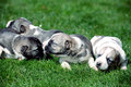 Several cute baby dog in green grass Royalty Free Stock Image