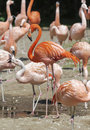 Several flamingos at the site on a sunny day Stock Images