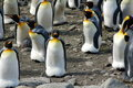 Several King Penguins Royalty Free Stock Photo