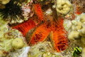 Several molluscs flame scallop ctenoides scaber bivalve underwater on the seabed in the caribbean sea Stock Photo