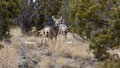 Several mule deer on the mountain one looking at the camera Stock Photo