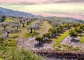 Several orange olives trees farm fields spanish province malaga you can see sunset moment mountains background Royalty Free Stock Photography