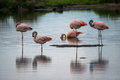 Several pink flamingos stand in the water. Shevelev.