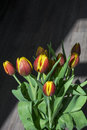 Several red and yellow tulips with drops of water Royalty Free Stock Photo