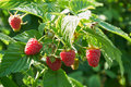 Several ripe red  raspberries growing on the bush Royalty Free Stock Photo