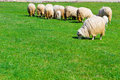 Several sheeps on field flock of the meadow at sunny day Stock Image