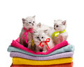 Several small furry gray kittens siting on stack colourful towel on white background Royalty Free Stock Photography