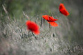 Several Wild Red Poppy On A Green Wheat Field In Dewdrops. Royalty Free Stock Photo