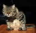 Severe cat pet looks bleak Royalty Free Stock Photo
