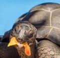 Seychelles giant tortoise animal background Royalty Free Stock Photography