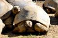 Seychelles tortoise tortoise of seychelles the aldabra giant aldabrachelys gigantea from the islands the aldabra atoll in the is Royalty Free Stock Photos