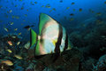 Shaded batfish platax pinnatus aka pinnate dusky red faced swimming over a coral reef dampier strait raja Stock Image