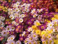 Shades of Pink and yellow Mums Flowers Royalty Free Stock Photo