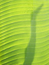 Shadow on banana leaves Royalty Free Stock Photo