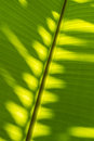 Shadow plam leaf on banana leaf abstract moring Stock Photo