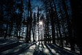 shadows of tall trees in a winter forest Royalty Free Stock Photo
